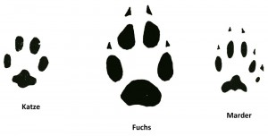 Katze Fuchs Marder