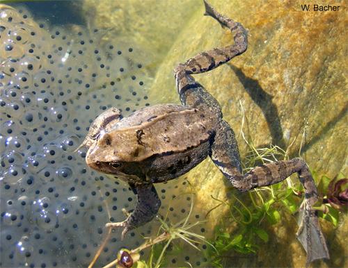Sie Sind Geschlüpft! Grasfrösche Oder Erdkröten?