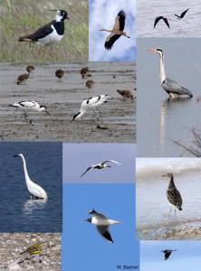 Seewinkel Vögel2