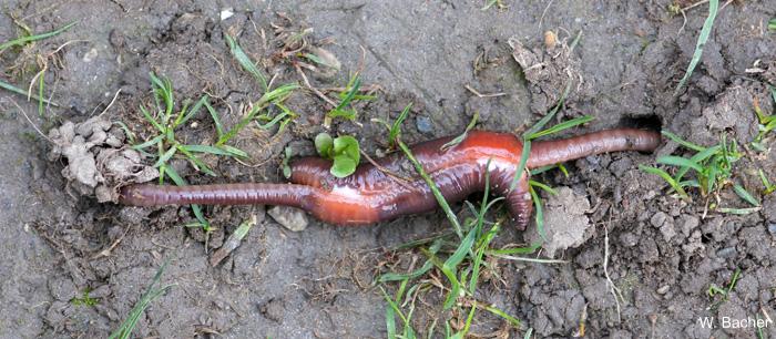 Regenwürmer Paarung