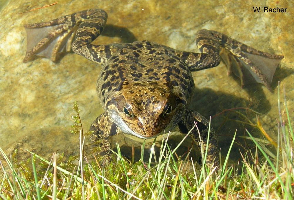 Grasfrösche Im Fuchsloch