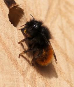 Gehörnte Mauerbiene - Weibchen