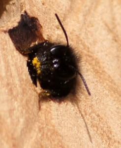 Gehörnte Mauerbiene, Weibchen