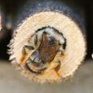 Wildbiene an Nisthilfe