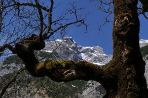 Berg-Ahorn am Ahornboden