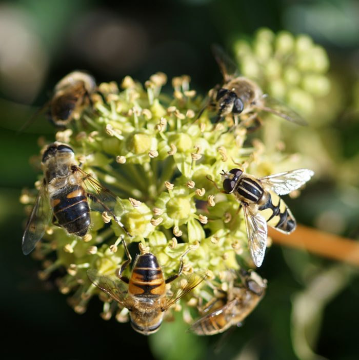 Der Efeu Als Herbstlicher Insekten-Magnet