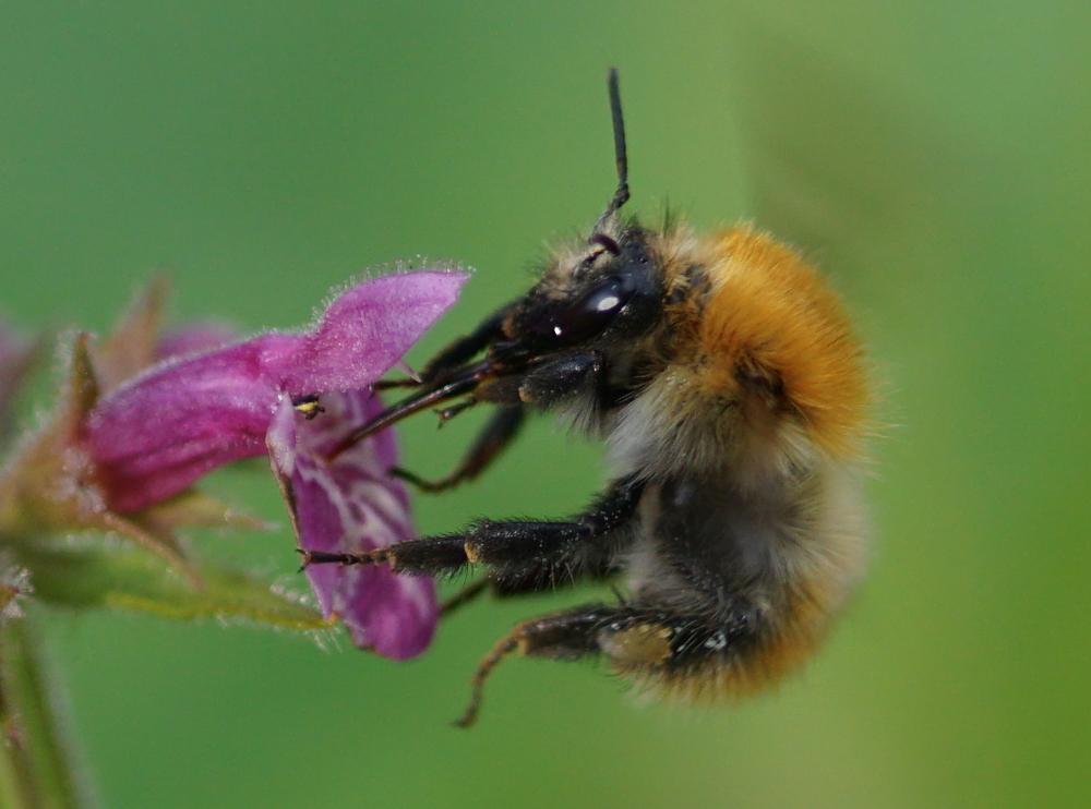 Hummeln – Die Pelzigen Bienen