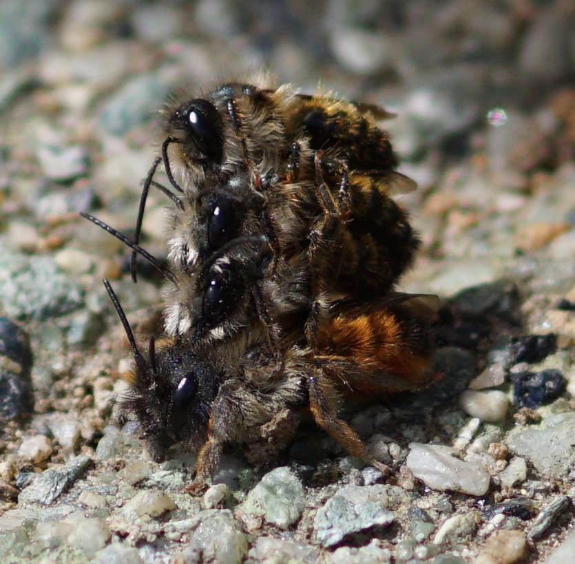 Osmia Bicornis Rostrote Mauerbiene Kopula